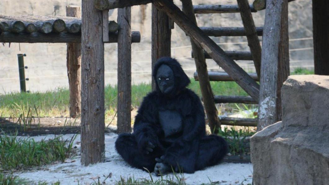 翻攝/微博 動物園猩猩竟真是「工讀生」!家長怒批:花錢來看這個?
