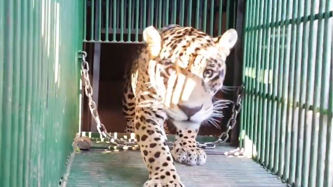 圖/翻攝自YouTube,Associação Mata Ciliar 全球首例美洲豹人工受孕生產 幼仔2天後被母吞食