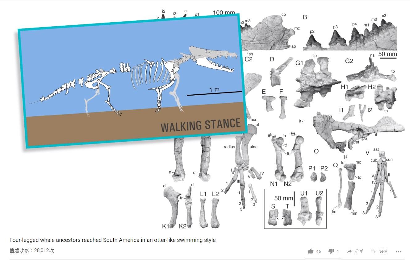 研究人員挖出來的鯨魚祖先化石。圖/翻攝自Youtube頻道 Naturalsciences