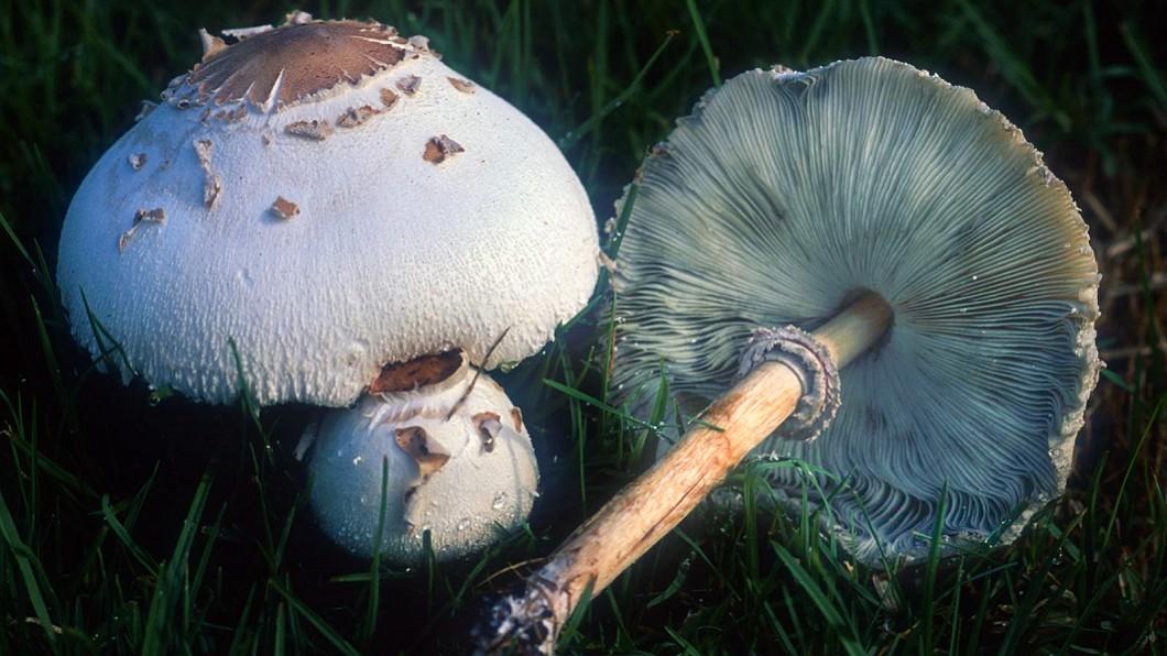 圖/截自維基百科 長得太像可食用菇類! 有毒「綠褶菇」誤食第一