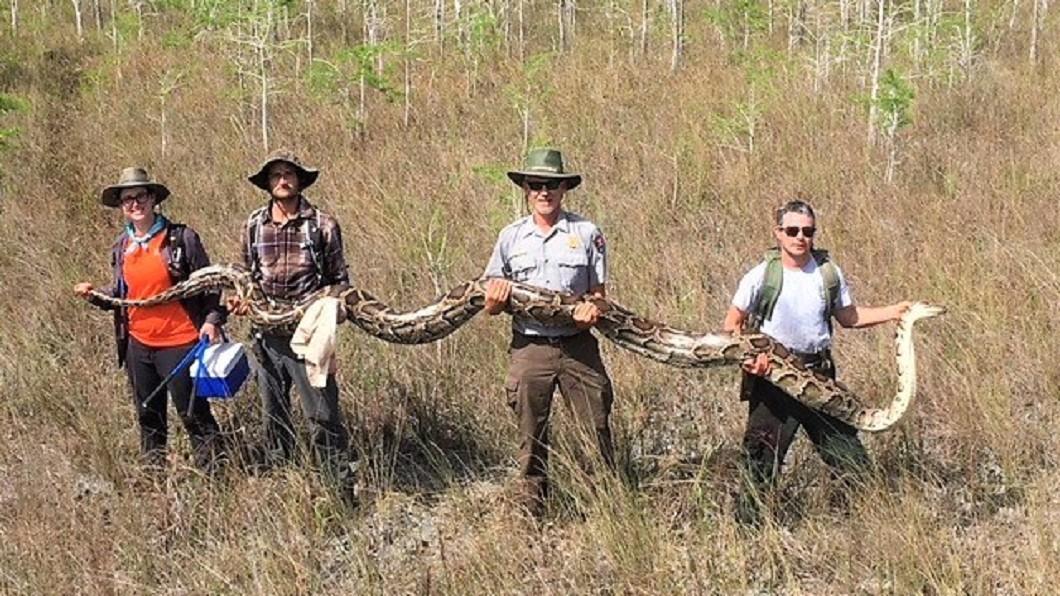 圖/翻攝自Big Cypress National Preserve 臉書 驚!美佛州捕獲5.2公尺巨蟒 身懷73待孵化蛇蛋