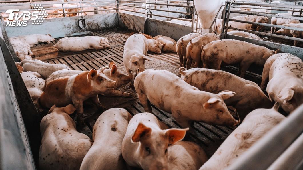 圖/TVBS 非洲豬瘟有疫苗? 大陸農業部急澄清:全是假的