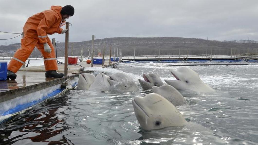 圖/達志影像路透 普欽點頭 國際動保組織協助.百鯨夏天放生