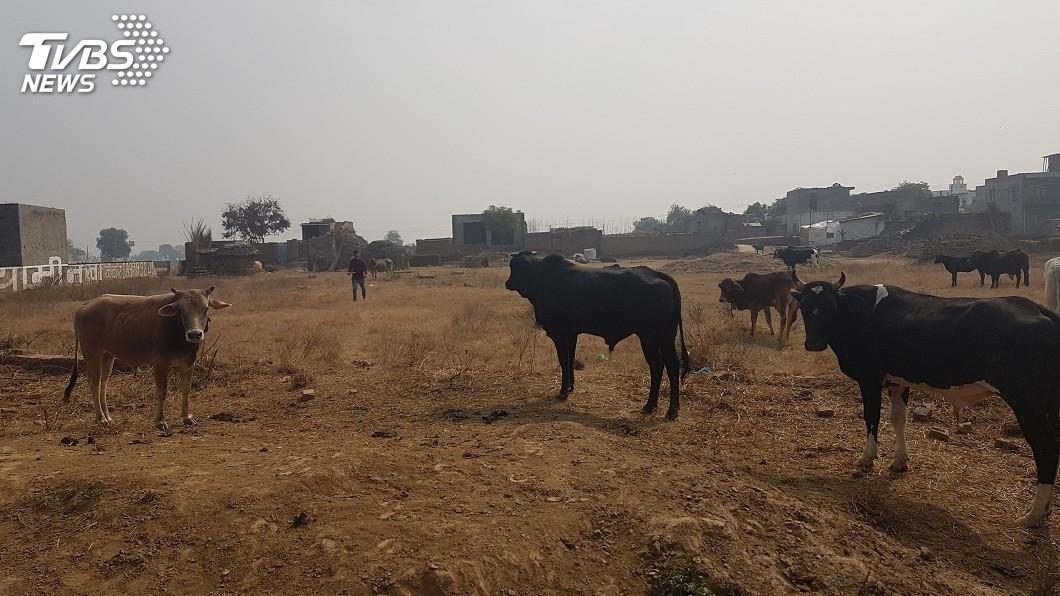 圖/達志影像美聯社 印度牛隻保護過頭 作物遭蹂躪農民嘆無奈