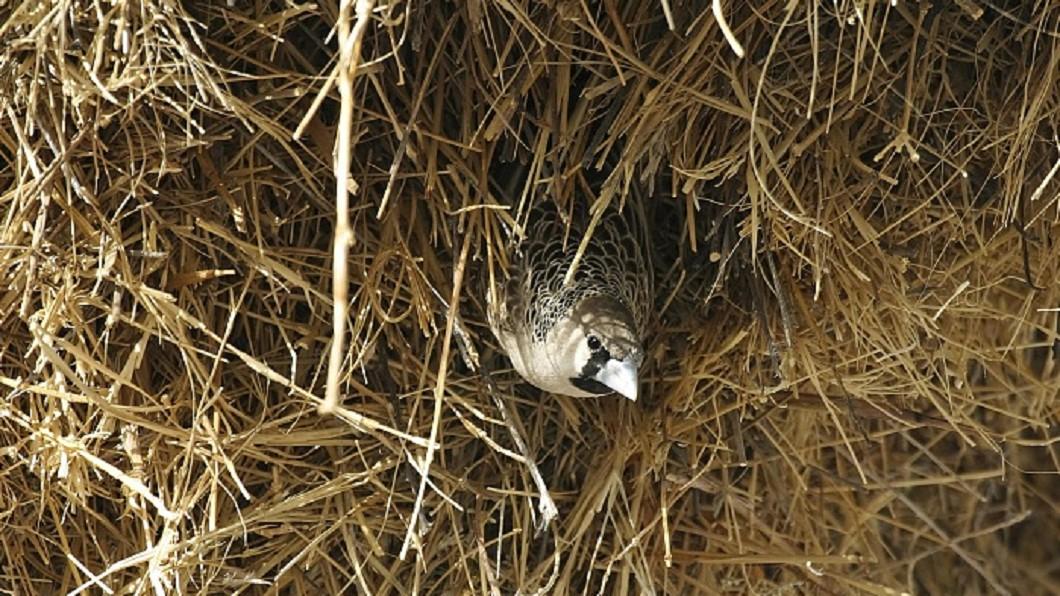 大小僅約14公分的「群織雀」。圖/達志影像TPG