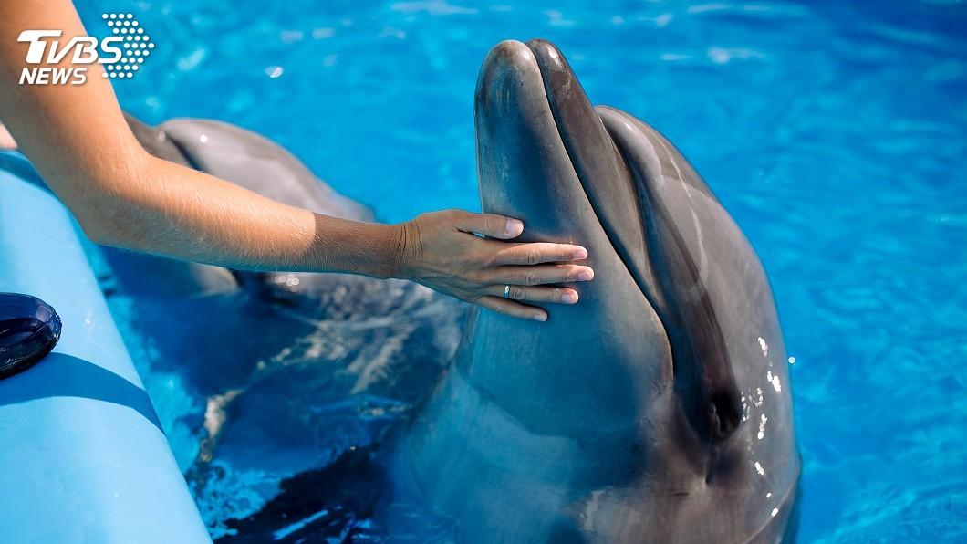 示意圖/TVBS 海豚從受孕到生產 小海豚誕生珍貴影像