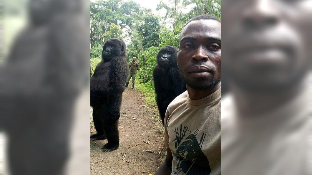 剛果國家公園一名巡守員和2隻山地大猩猩玩起自拍。(圖/翻攝自The Elite AntiPoaching Units And Combat Trackers.臉書粉絲團)