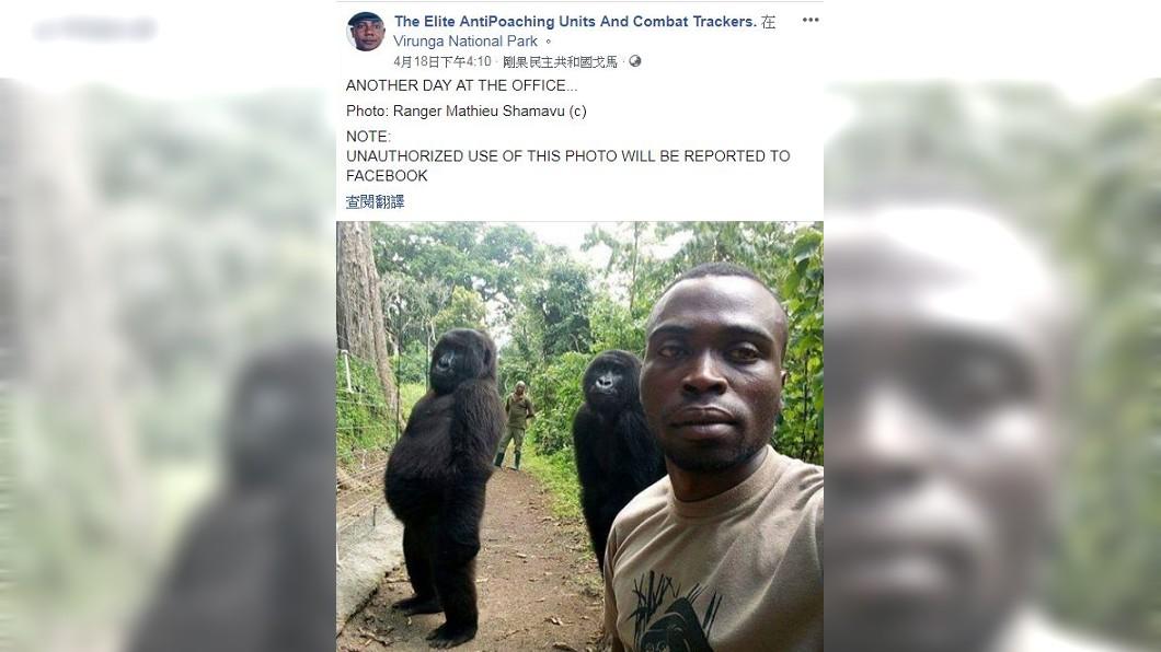 2隻山地大猩猩宛如偶像團體上身,面對鏡頭很會擺姿勢。(圖/翻攝自The Elite AntiPoaching Units And Combat Trackers.臉書粉絲團)