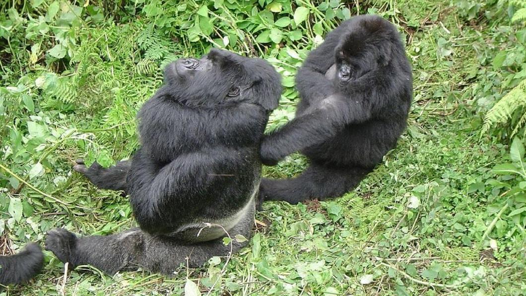 山地大猩猩是即將滅絕的動物,目前僅剩下不到400隻。(圖/翻攝自維基百科) 偶像上身?大猩猩跟人類玩自拍 姿勢滿分網笑:很會啊!