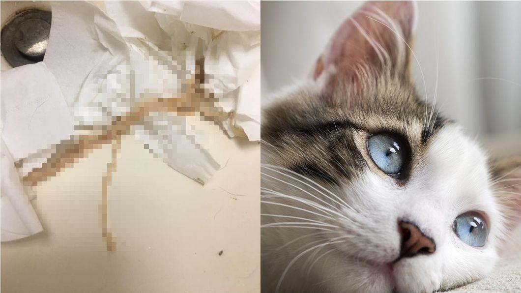圖/翻攝自臉書「貓咪也瘋狂俱樂部 CrazyCat club」、TVBS示意圖 貓肛門拉出這一條狂蠕動 網嚇傻:以為是刀削麵