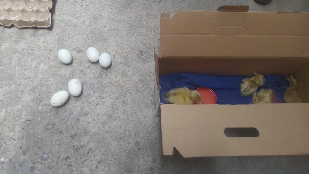 該名女網友表示,可能是近期天氣太熱,才會導致鴨仔蛋孵化成小鴨。(圖/翻攝自臉書)
