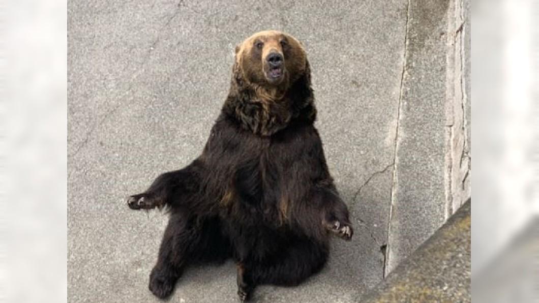 圖/翻攝自 锋行moun微博 一個週末兩頭現蹤 札幌又有「熊出沒」