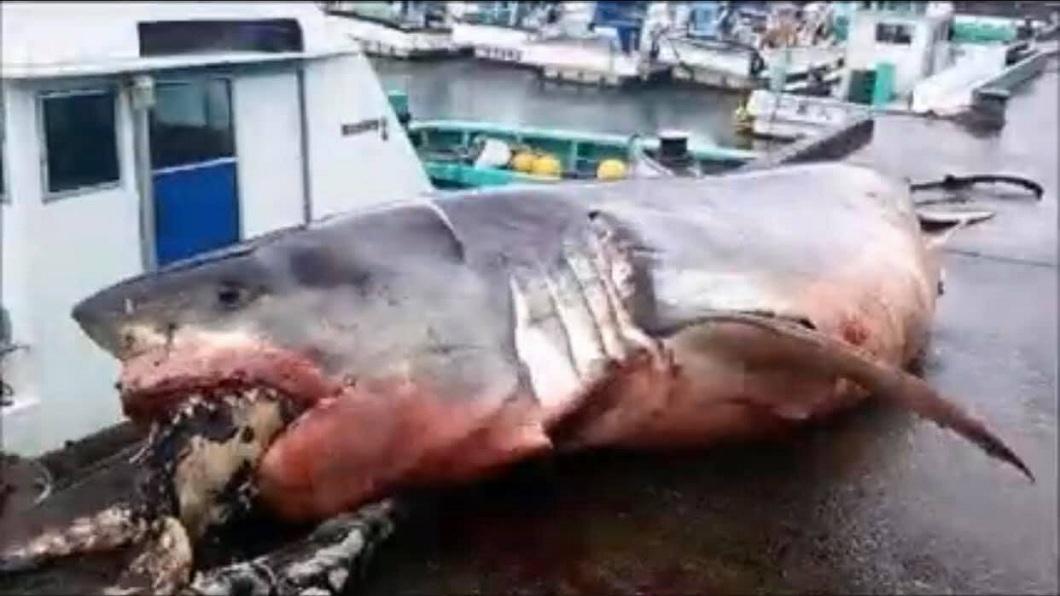 日本外海最近捕獲到一隻大白鯊,但牠被發現時已經明顯死亡。(圖/翻攝自臉書) 漁船捕到2千公斤大白鯊 海龜吞一半活活被噎死