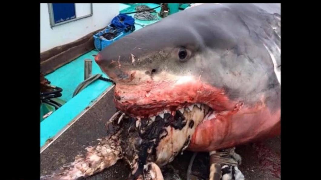 這隻大白鯊被撈起時,口中還咬著一隻海龜,研判牠可能是吞不下去而活活被噎死。(圖/翻攝自臉書)