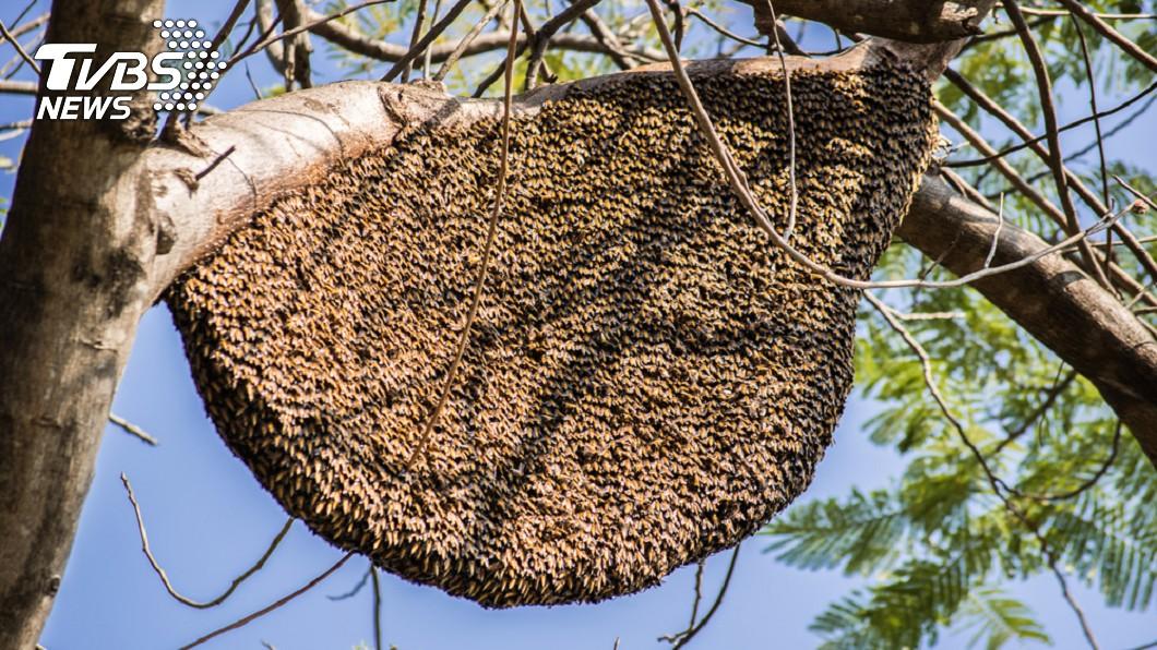 在外面發現蜂窩時,千萬小心別挑釁,避免遭到蜂群攻擊。(示意圖/TVBS) 公園遊玩見蜂窩 7歲女童遭黃蜂群狂螫300下休克險死