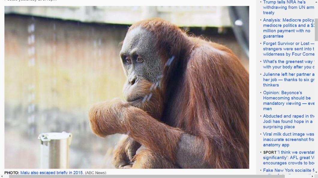 Malu逃家後,在幾分鐘內就被尋回。圖/翻攝自《ABC》 紅毛猩猩又離家出走!動物園封鎖園區 大動作就為了牠