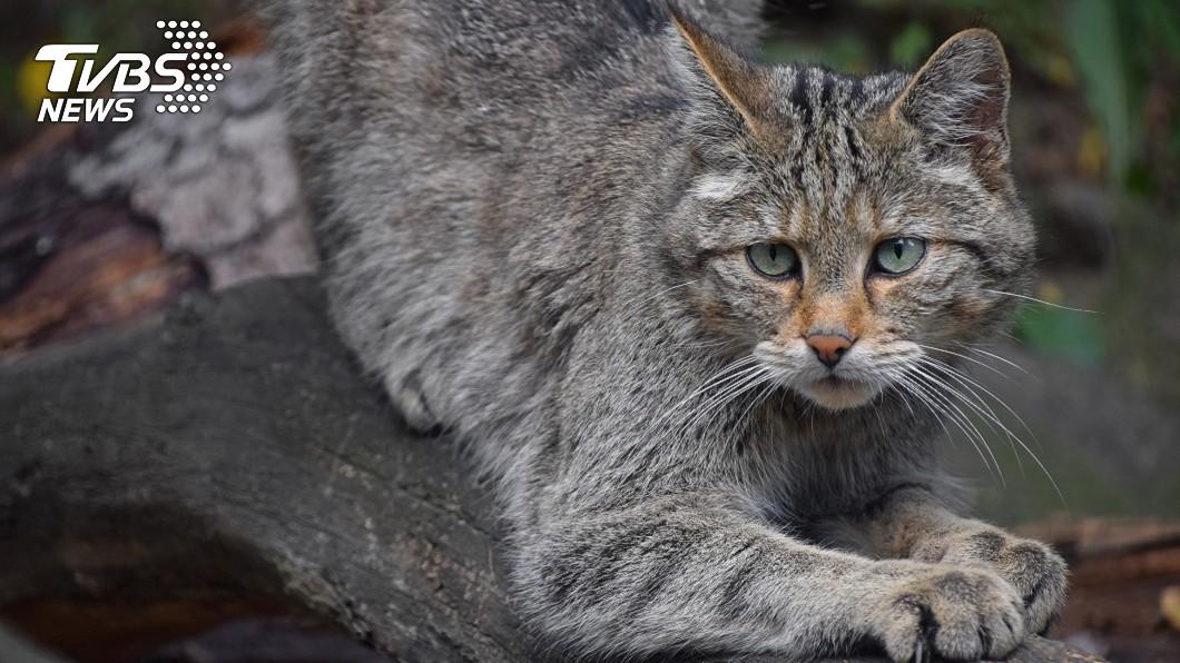 澳洲政府預計在2020年前撲殺逾200萬隻野貓。示意圖/TVBS 一天弄死逾百萬原生物種! 澳洲將撲殺逾200萬隻野貓