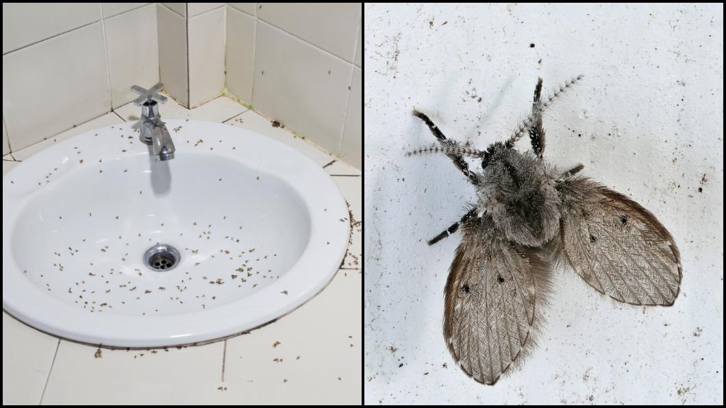 示意圖/TVBS 千萬別赤手拍打!廁所小飛蟲超惱人 一包「粉」搞定