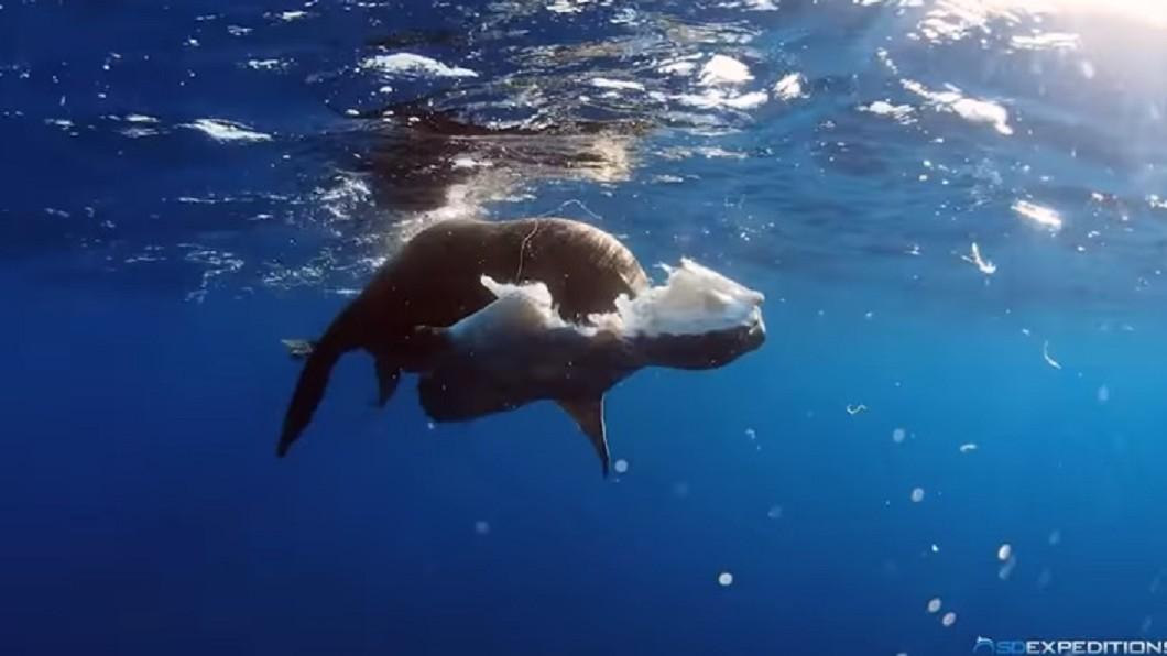 圖/翻攝自YouTube 翻車魚被海獅啃光腹部 遲鈍到都沒感覺