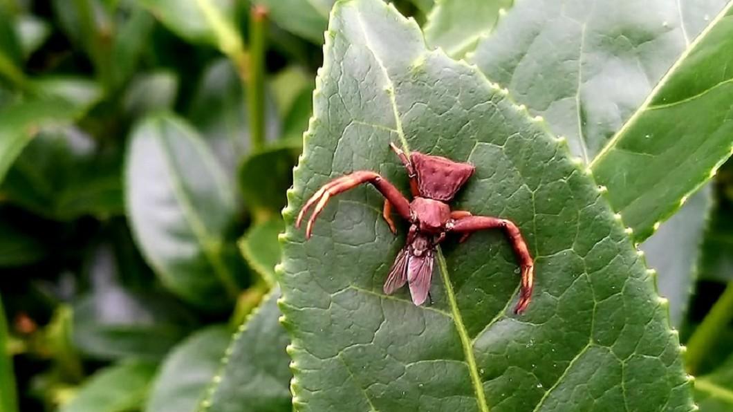 茶園表示因不使用任何農藥,所以經常看到各種不知名的昆蟲。圖/靜觀拾捌茶園提供