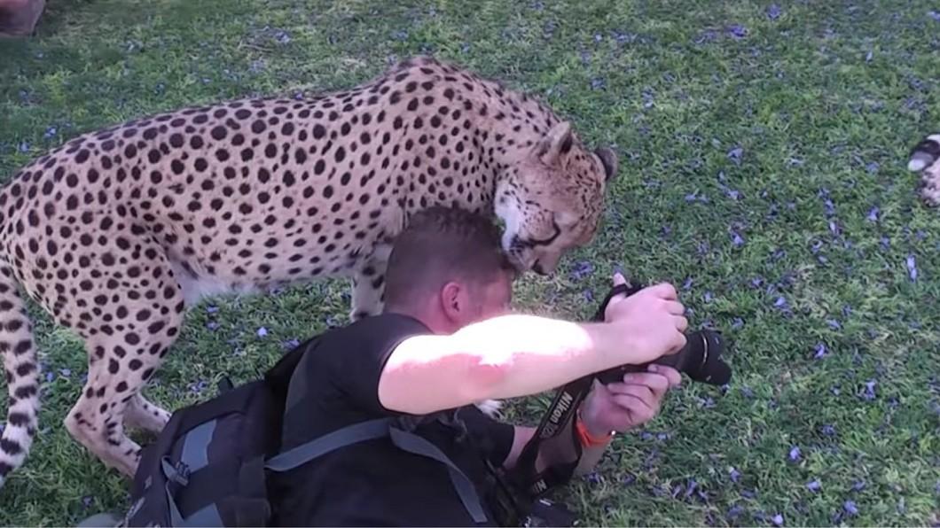 攝影師頭部突然遭到獵豹含住。圖/翻攝自YouTube 驚悚畫面曝光!攝影師突遭獵豹咬頭 下秒劇情神反轉