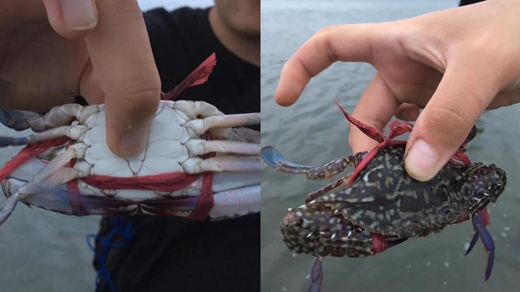 圖/爆料公社 螃蟹「雙螯綑綁」放生大海 網轟:根本放死!