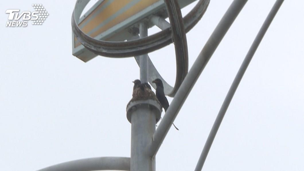 圖/中央社 烏秋空降襲擊機車騎士 為育雛保護電桿上的巢