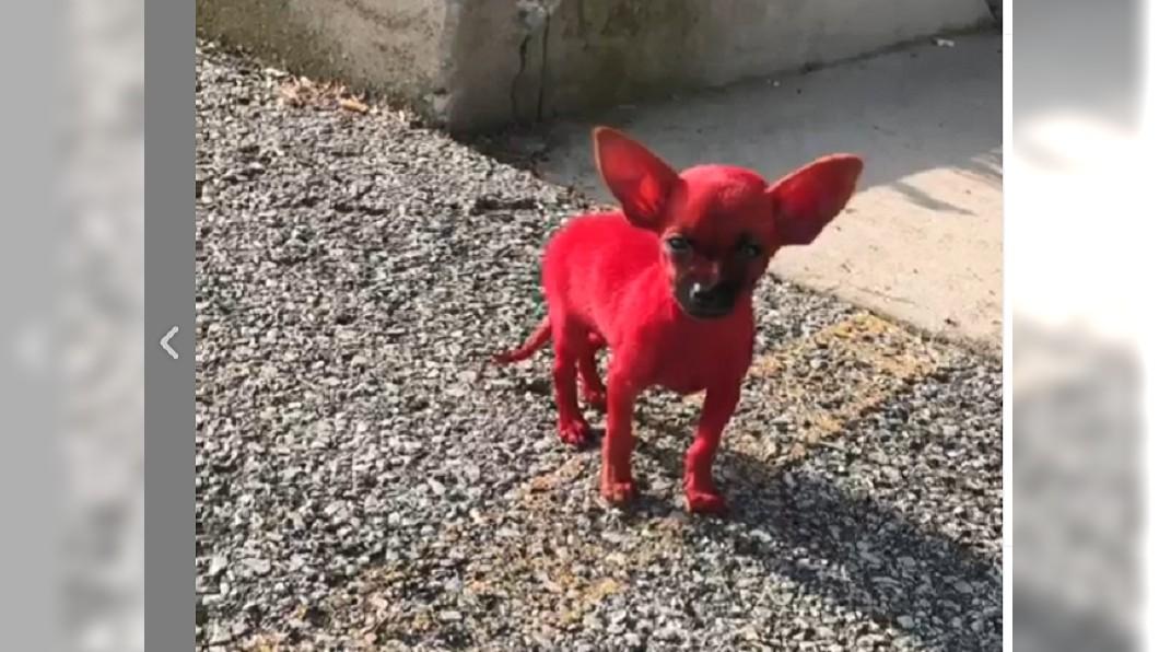 知名饒舌歌手將愛犬染色,引來網友熱議 圖/翻攝自Valee Taylor個人IG 街頭驚見「紅毛怪」 真實身分竟是...