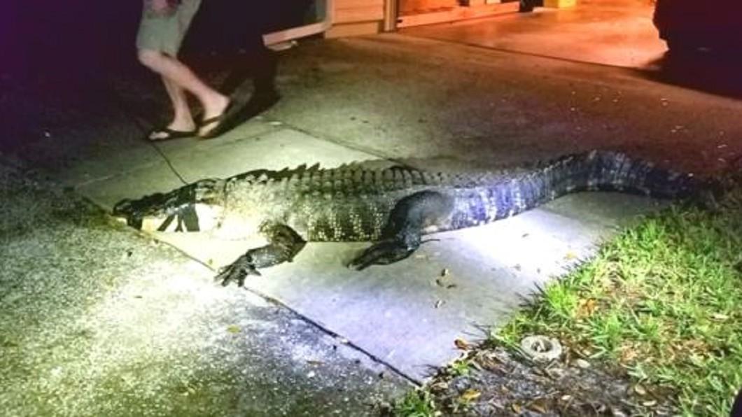 圖/翻攝自Clearwater Police Department推特 家中驚見大鱷魚 屋主:像看著我說「嗨」