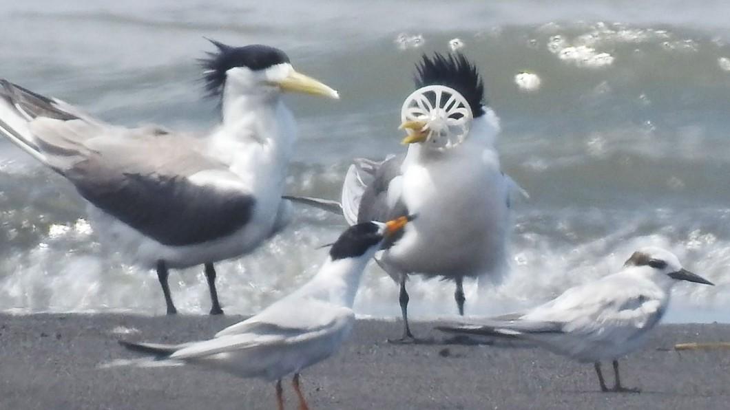圖/拍鳥俱樂部李姓鳥友提供 心痛…鳳頭燕鷗被塑膠環卡住鳥喙 無法進食也甩不掉