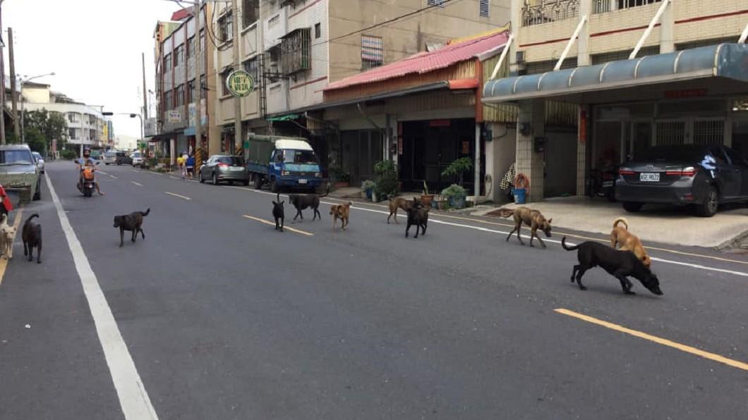 11隻大型流浪大白天佔據街道。圖/翻攝自王啟澧臉書