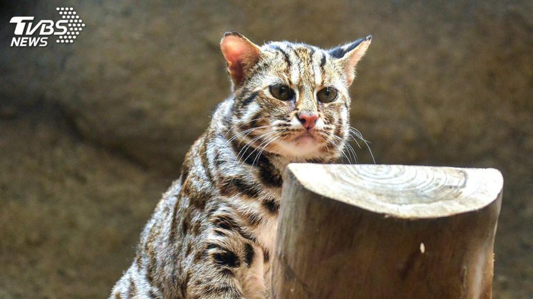 石虎目前已剩不到五百隻,屬於一級保育類動物。 圖/TVBS 石虎別怕!「路殺預警系統」智慧上路