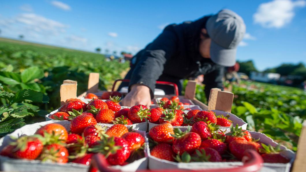 圖/達志影像美聯社 英國農場缺工採摘  今年夏季恐鬧蔬果荒
