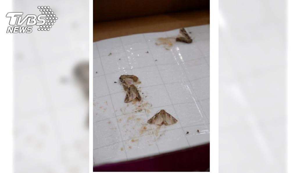 農委會公布在馬祖現蹤的秋行軍蟲成蟲。圖/TVBS 農委會確認秋行軍蟲成蟲現蹤澎湖玉米田