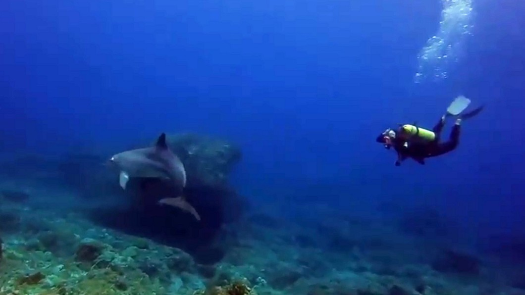 圖/庫達潛水教練蝦卷提供 超酷!偶遇瓶鼻海豚伴游近20分鐘 潛水客直呼:中獎了