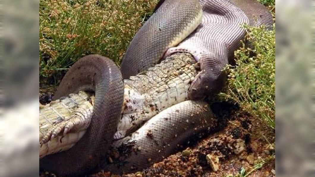 巨蟒張口逐步吞食大鱷魚。圖/翻攝GG Wildlife Rescue Inc臉書