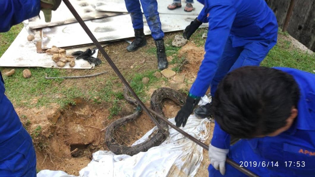 馬來西亞日前發有3公尺長的蟒蛇闖入住宅區內,警消獲報前往處理。(圖/翻攝自臉書) 驚!3公尺巨蟒闖住宅區 巢穴還拉出29條小蛇