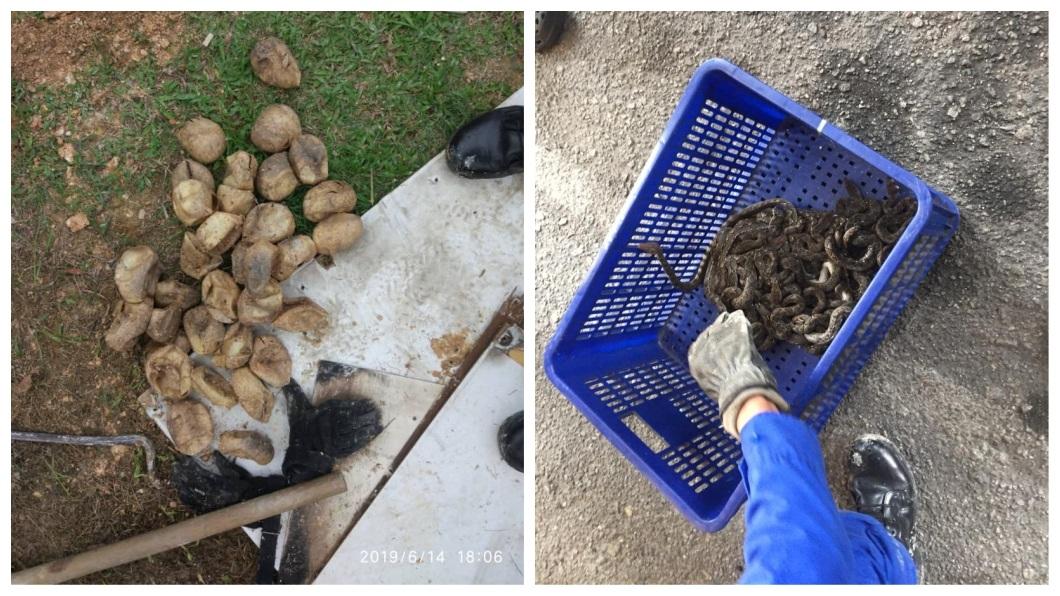現場還發現蛇蛋殼,一共找出29條已經孵化完成的小蛇。(圖/翻攝自臉書)