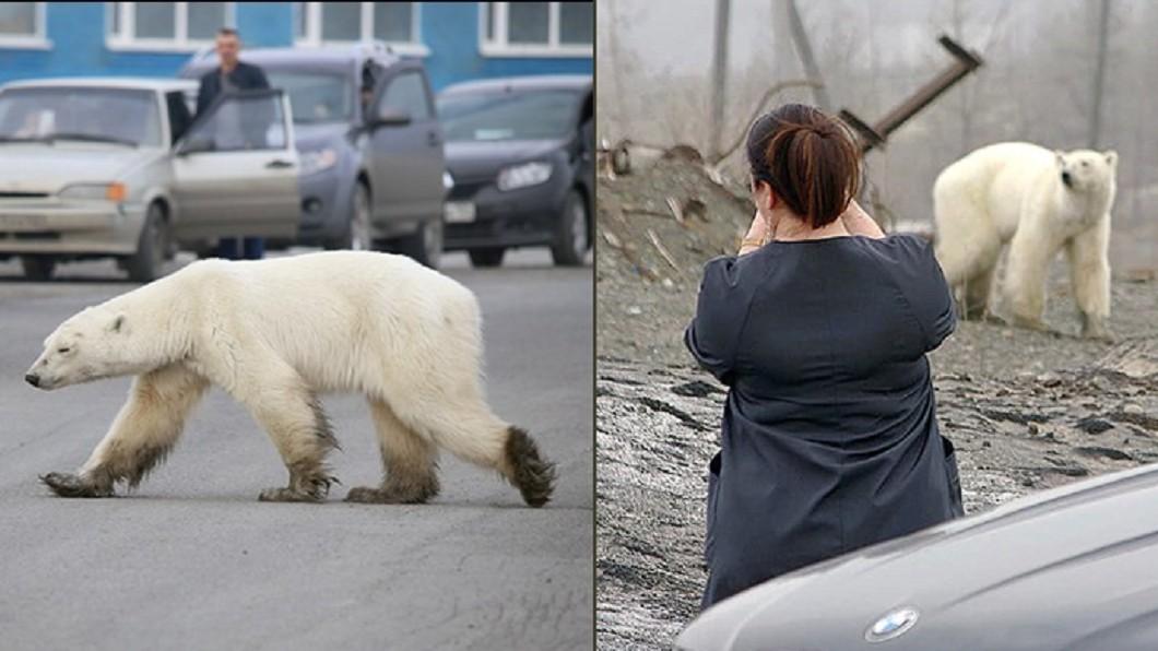 北極熊現身俄羅斯西伯利亞的城市諾里爾斯克。圖/翻攝自The Siberian Times 推特