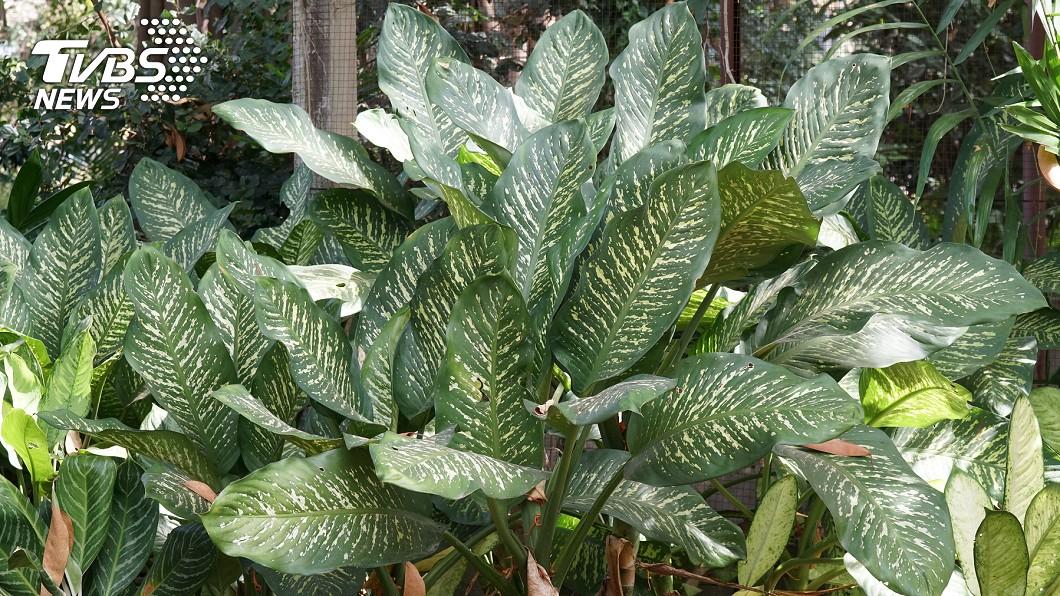 專家提醒,萬年青這類植物都有毒性,千萬要注意。示意圖/TVBS