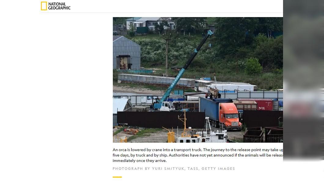 俄政府開始全面釋放受害鯨魚。圖/截自National Geographic