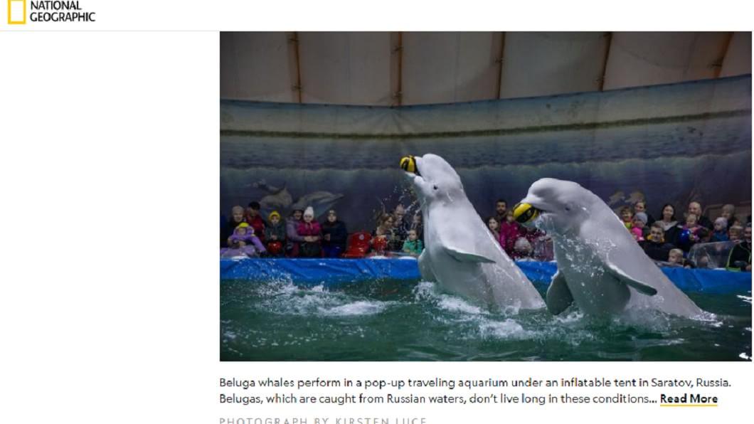 表演用小白鯨違反自然。圖/截自National Geographic 自由了!百隻殺人鯨關「鯨魚監獄」 俄宣布全釋放超壯觀