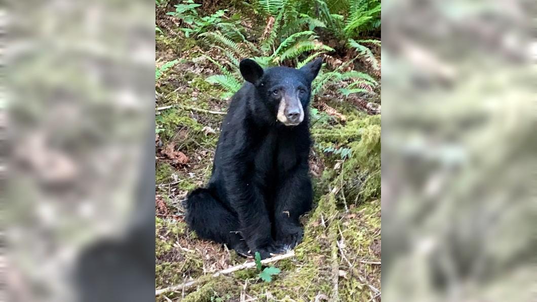 2歲多的小黑熊因「太親人」而遭到安樂死。圖/翻攝WCSO Oregon Twitter 淚!小黑熊因「太親人」被安樂死 捕捉大隊靠近都沒逃
