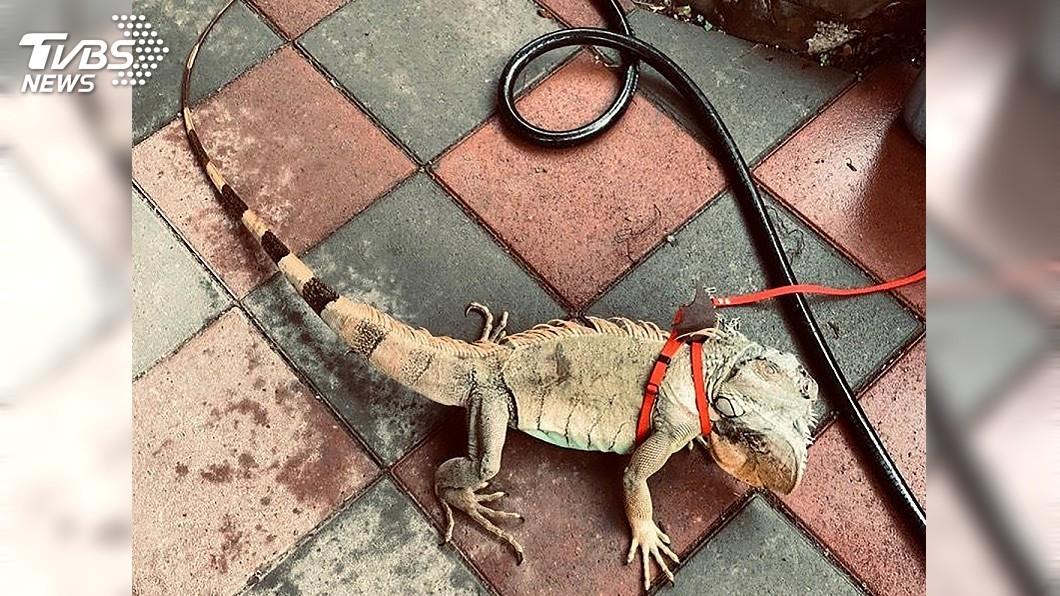 圖/中央社 屏東發起全民運動 抓1隻綠鬣蜥換1盒老鷹紅豆
