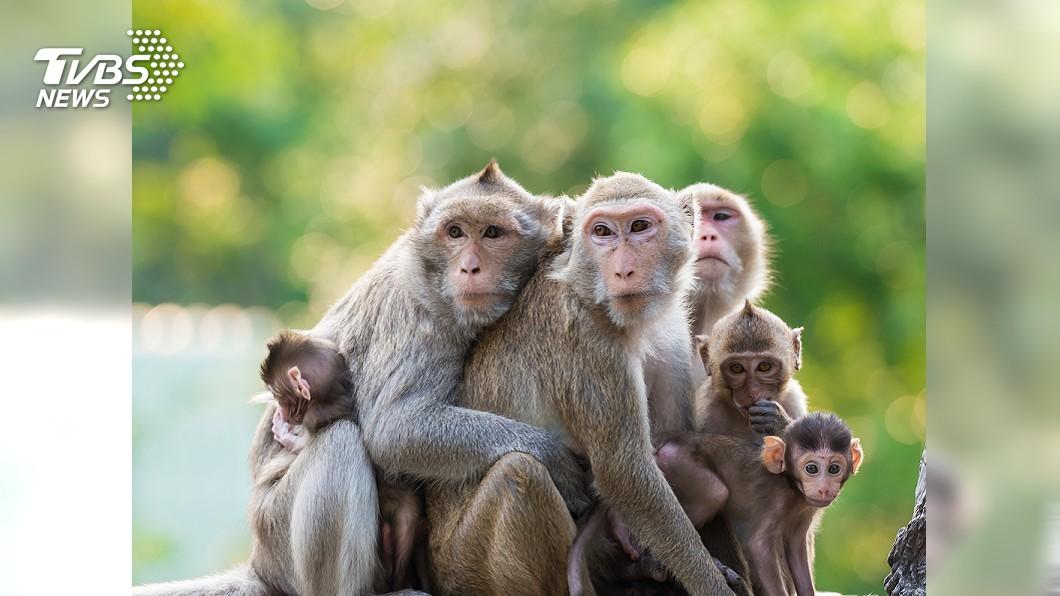 示意圖/TVBS 集體蹺家!管理員忘上門鎖 沖繩14隻猴落跑
