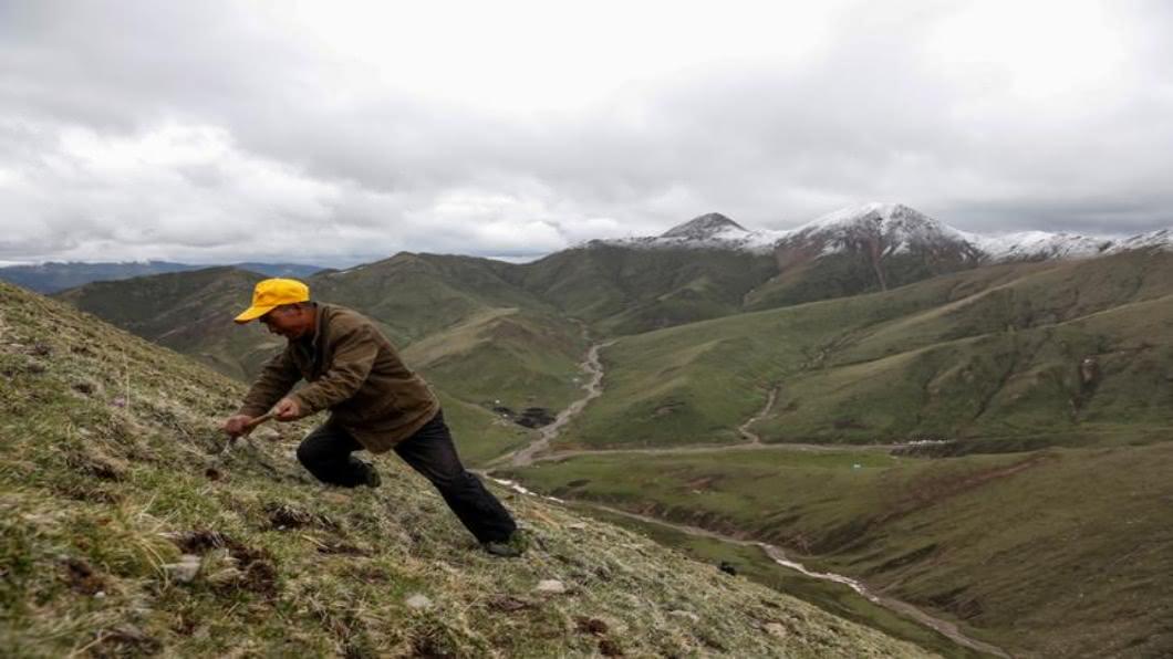 圖/達志影像路透 暖化扼殺冬蟲夏草 尼泊爾攀高採集8死