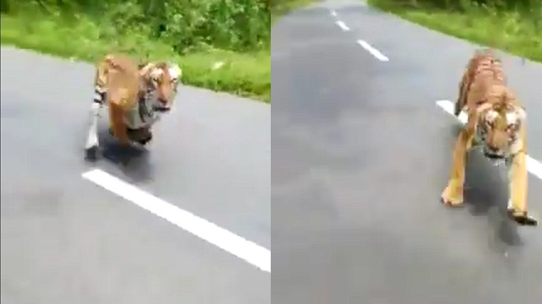 圖/翻攝自 FAWPS 臉書 半路老虎衝出 騎士狂催油門…驚險逃生影片曝光