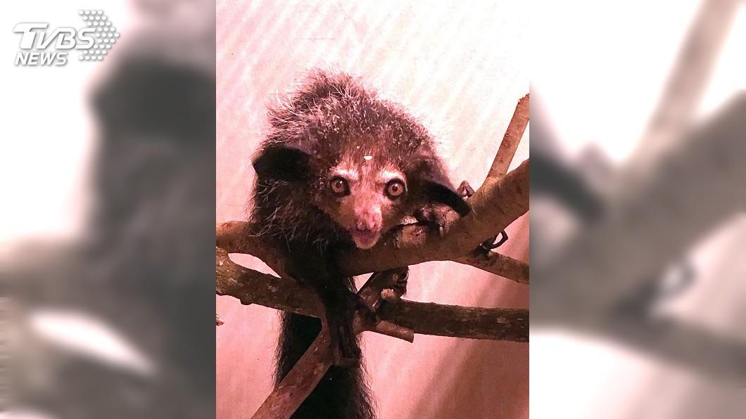 圖/中央社 長相太特殊生存受威脅 珍稀指猴將在動物園亮相