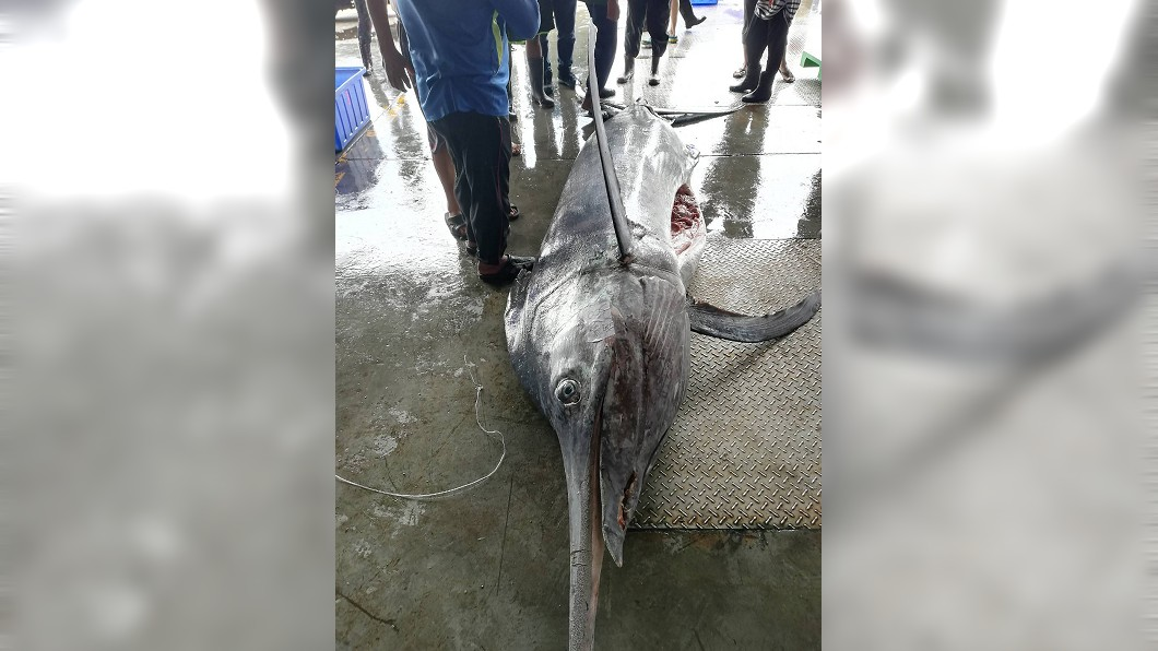 圖/水試所東部海洋生物研究中心提供 大「旗」跡! 台東捕獲500公斤白皮旗魚