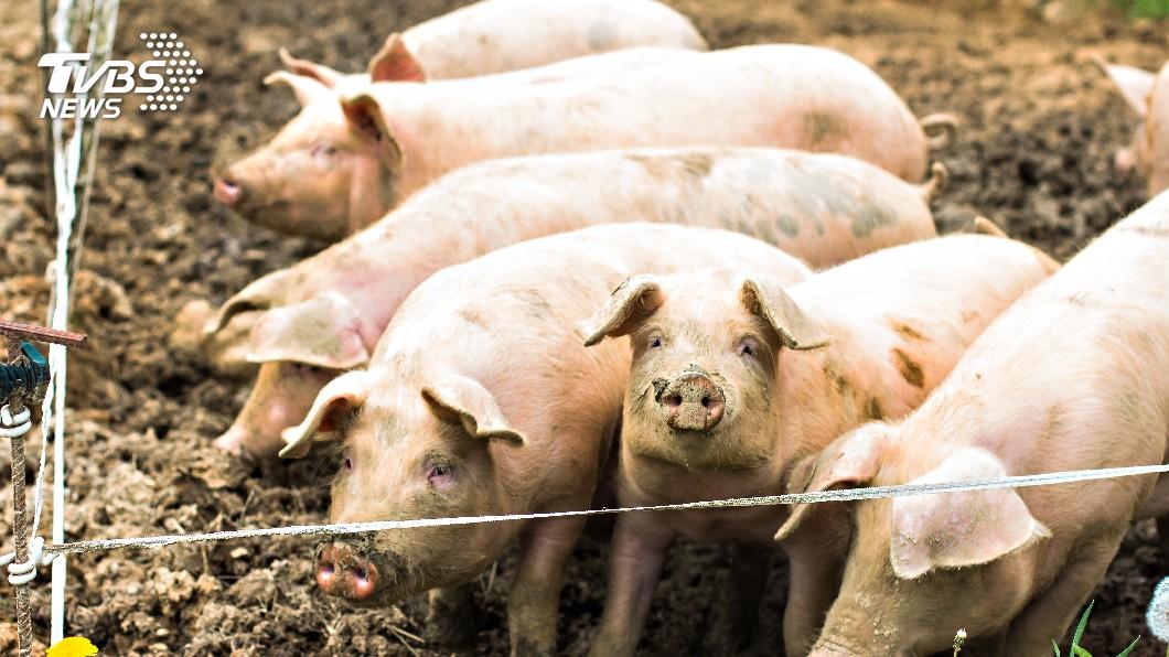 (示意圖/TVBS) 新型豬流感 農委會將釐清病毒是否已進台灣